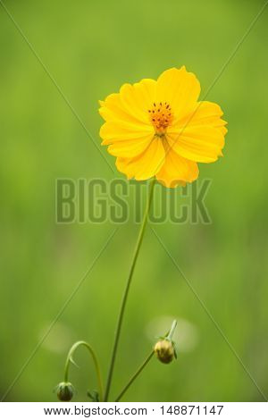 Yellow Cosmos flower against sun set light in the green field background