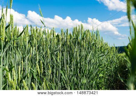 Green wheat against cultivate a blue sky