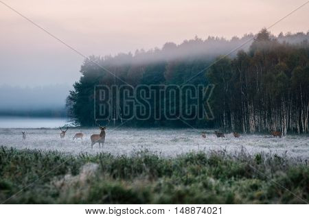 Red deer leader and herd against misty forest early in the morning during the rut in Belarus
