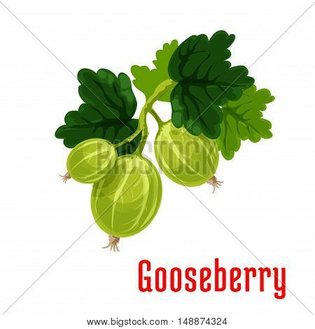Gooseberry fruit. Isolated bunch of gooseberries on stem with leaves. Botanical product emblem for juice or jam label, packaging sticker, grocery shop tag, farm store