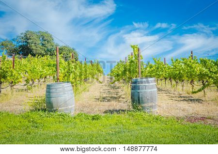 Sunny Afternoon In Vineyard