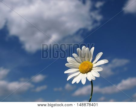 Wild daisies on a background of blue sky