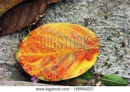 Autumn leaf of a tree, painted in red and yellow colors
