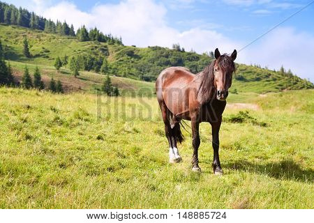 Horse grazing in meadow in mountain valley. Horse grazing in summer mountain pasture. One brown horse on mountain pasture in Carpathians look at the camera