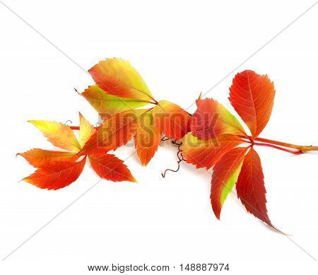 Red Autumn Twig Of Grapes Leaves