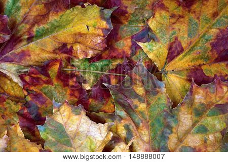 Autumn multicolor dry maple -leafs background .