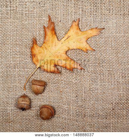 Autumn Dried Leaf Of Oak And Three Acorns On Sack Cloth