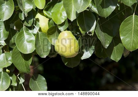 Detail of a pear and the leaves of a pear tree