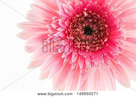 Closeup a pink gerbera daisy flower isolated on white background.