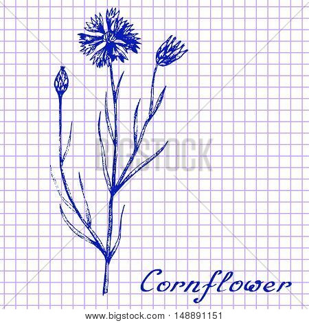 Cornflower. Botanical drawing on exercise book background. Vector illustration. Medical herbs