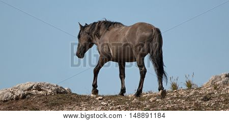 Wild Horse Grulla Gray colored Band Stallion on Sykes Ridge in the Pryor Mountains in Montana - Wyoming US