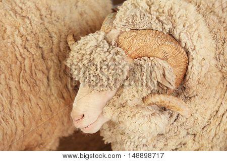 Ram in corral