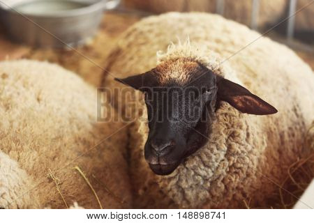 Sheep in corral