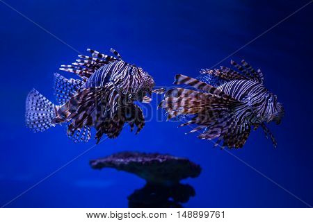 Fish butterfly-cod on the seabed in water.