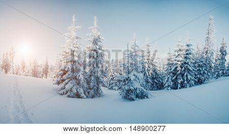 Majestic winter trees glowing by sunlight. Dramatic wintry scene. Place location Carpathian national park, Ukraine, Europe. Alps ski resort. Beauty world. Blue toning effect. Happy New Year!
