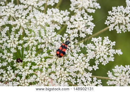 small garden red bug enjoys white flower close up