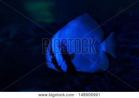 Fish bat floats on the sea floor.
