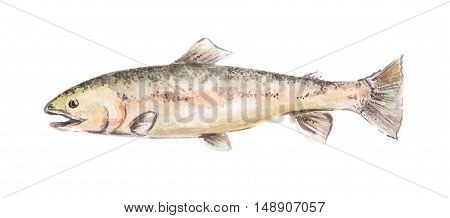 Isolated watercolor fish on white background. Fresh and raw seafood.