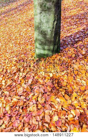 Ground around beech tree trunk covered with brown beech leaves
