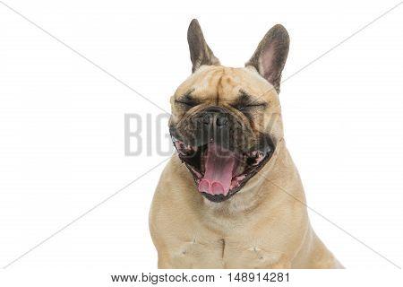 Portrait of beautiful young French buldog girl dog yawning. Isolated over white background. Studio shot. Copy space.