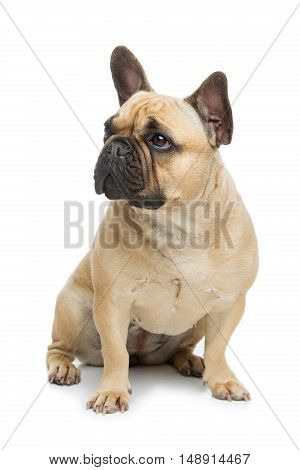 Portrait of beautiful young French buldog girl dog. Isolated over white background. Studio shot. Copy space.