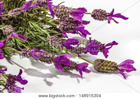 Extreme Close Up Of Flowering Purple Lavender Plant Stems