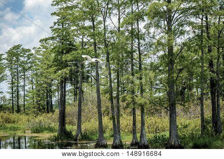 White Bird Flying In Swamp