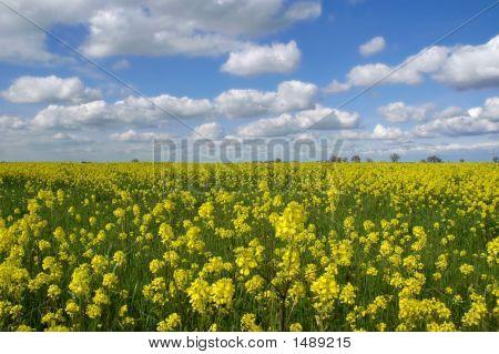 Mustard Flowers Under White Clouds