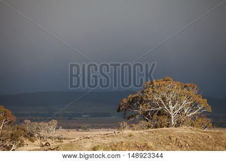 Eucalypt Trees Tasmania