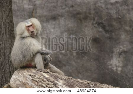 an adult baboon looking towards the camera