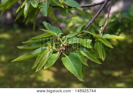 chestnut branch with leaves on a park