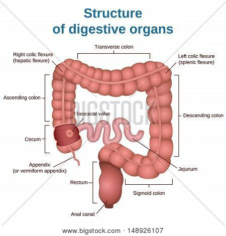 circuit structure of the digestive system, colon and small intestine