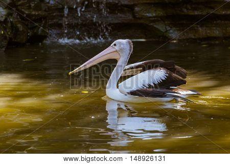 Pelican in Bali Island Indonesia - nature background