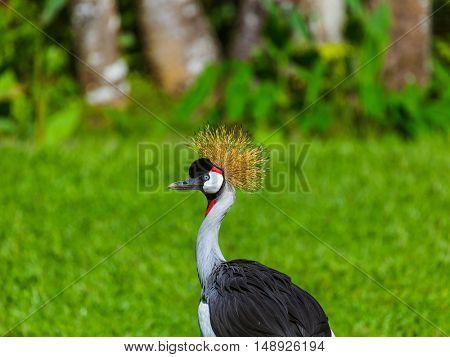Grey Crowned Crane in Bali Island Indonesia - nature background