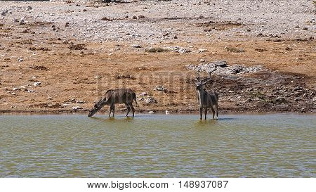 Kudus in the Etosha National Park, Namibia