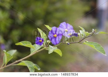flower of solanum in a garden near la spezia