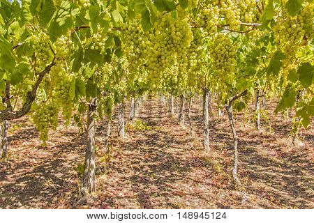 Grapes in a vineyard of Italy. Agriculture