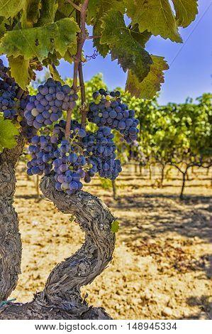 Grapes in a vineyard of Salento. Farm