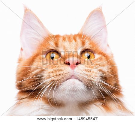 Portrait of domestic red Maine Coon kitten - 8 months old. Playful young cat isolated on white background. Close-up photo of orange striped cat looking up.