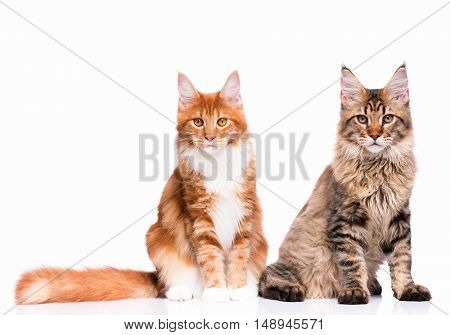 Two Maine Coon kittens - 8 and 5 months old. Portrait of domestic black tabby and red young cats looking at camera. Cute striped kitties sitting, isolated on white background.