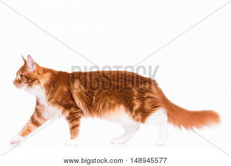 Portrait of domestic red Maine Coon kitten - 8 months old. Side view of a curious orange striped kitty walking, isolated on white background. Young cat walks and looking away.
