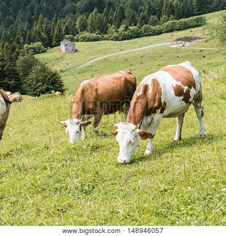 Cattle Summer Grazing
