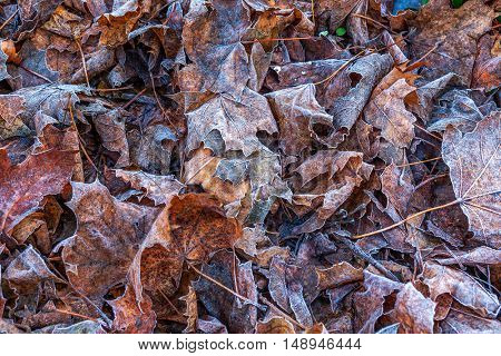 Closeup image of orange and brown fallen leaves on the ground covered with frost.