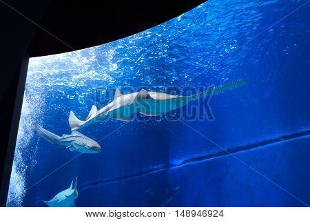 Sawfish in large aquarium with blue water
