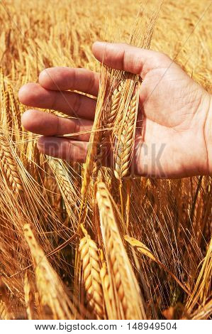 Wheat ears in the hand. Harvest concept