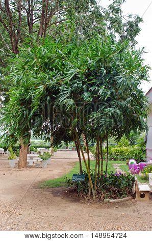 Yellow Running Bamboo, Yellow Grove Bamboo, Or Moso Bamboo Feathery Bamboo