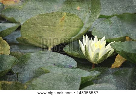 Yellow waterlily flower surrounded by lily pads in pond. Vintage style faded textured wood background with copy space for text.
