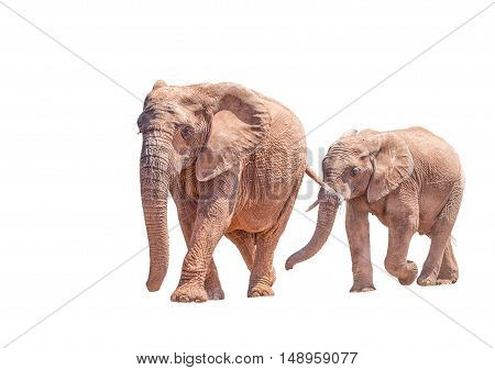 An African Elephant mother and large calf isolated in white Loxodonta africana walking
