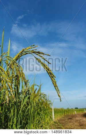 Paddy rice thailand for food security worldwide.