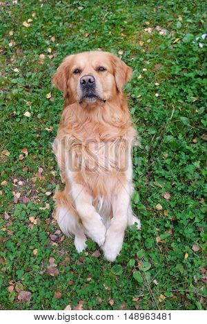 Dog (Golden retriever) standing on two feets an begging.